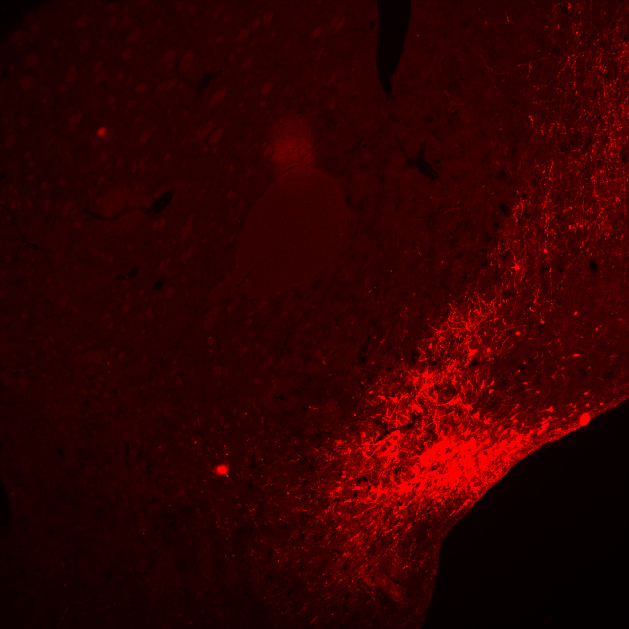 anti-mCherry (tag for DIO-hM4D(Gi) AAV) in red, bright field/fluorescent microscope, 5x objective