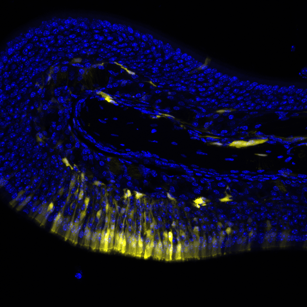 tdTomato is in yellow; DAPI in blue. Imaged on a Leica SPE microscope with a 20x objective. 16 μm sections of the mouse olfactory epithelium